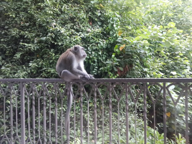 Macaque (mobile photo)