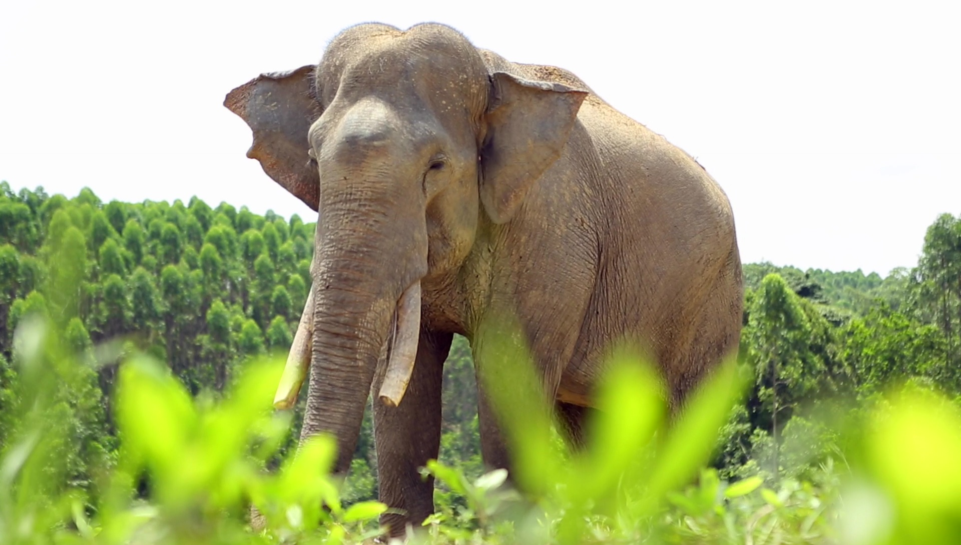 Elephant, Sumatra, Indonesia